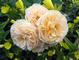 Yellow Peony<em><span style=font-size:9pt;>&nbsp;Credit: Robert Baldwin</span></em>