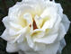 White Rose<em><span style=font-size:9pt;>&nbsp;Credit: Robert Baldwin</span></em>