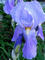 Iris<em><span style=font-size:9pt;>&nbsp;Credit: Robert Baldwin, Professor of Art History</span></em>